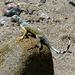 Lizard in Mecca Hills (5746)