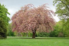 Mandelblütenbaum - Migdalflora arbo