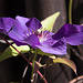 20131003 3040RAw [D~HM] Waldrebe (Clematis), Bad Pyrmont