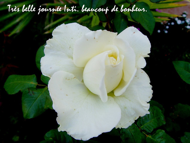 rose Blanche d'El Jadida  pour Inti