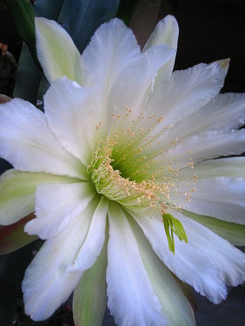 Cereus Bloom (5689)