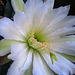 Cereus Bloom (5689)