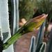 Cereus Bloom (6718)