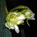 Cereus Blooms (5655)