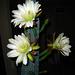 Cereus Blooms (5684)