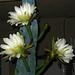 Cereus Blooms (5685)