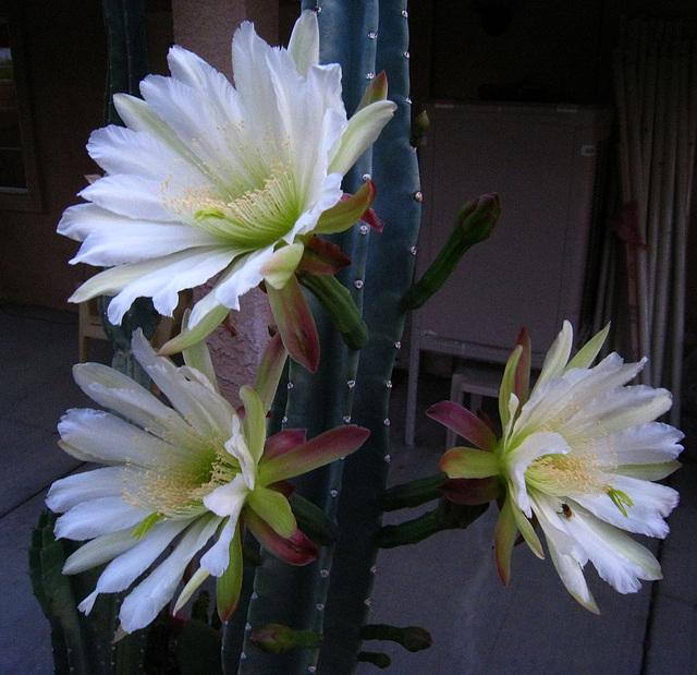 Cereus Blooms (5686)
