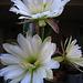 Cereus Blooms (5687)
