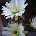 Cereus Blooms (5688)