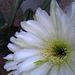 Cereus Blooms (5690)