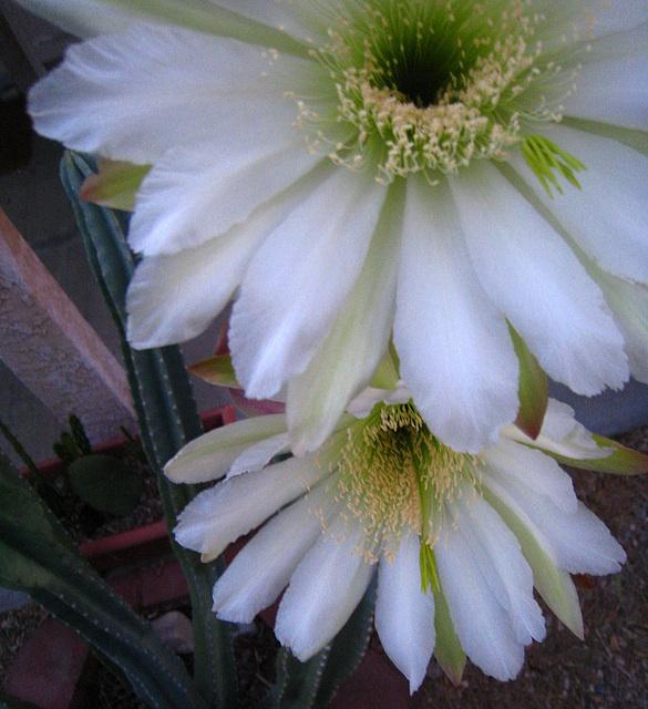 Cereus Blooms (5691)