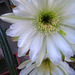 Cereus Blooms (5692)