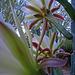 Cereus Blooms (5694)