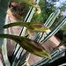 Cereus Blooms (6717)
