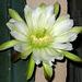 Cereus Bloom (5652)