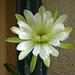 Cereus Bloom (5653)