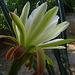 Cereus Bloom (5654)