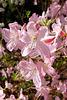 migdalfloro - Mandelblüte