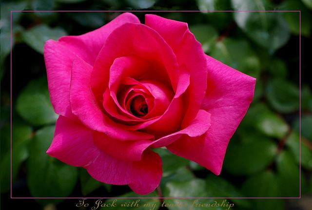 Une des premières roses de printemps pour Jack