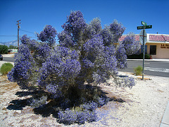 Smoke Tree at Fifth and Palm (5914)