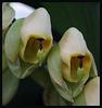 Catasetum mataglossum