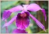 Dendrobium purpurata