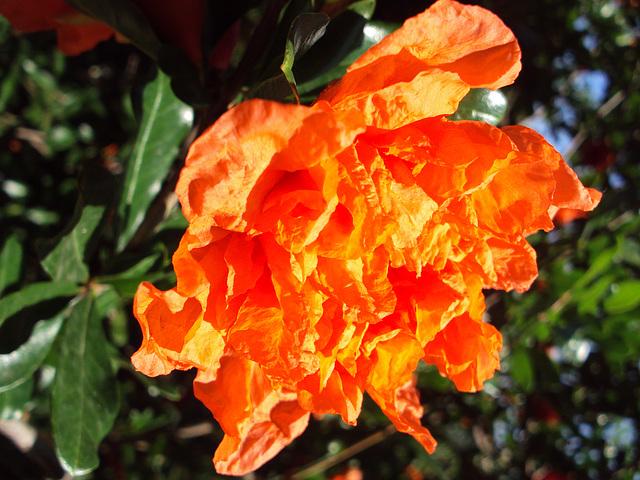 Grenadier fleur. macro