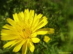 Fleur du liondent d'automne (Leontodon autumnalis)