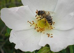 Eine Biene beim Sammeln