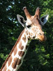 IMG 1211 Leidende Giraffe