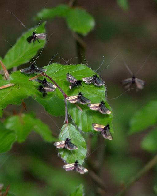 Inconnus.... (adela reaumurella mâles)