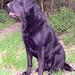 Celli - unser Labrador 2011
