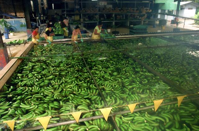 Lavando banano en una finca de Guápiles, Costa Rica
