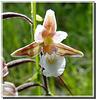 Epipactis palustris détail