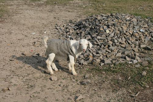 A Tee-shirt Clad Goat