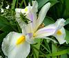 Sauterelle sur iris blanc de Hollande