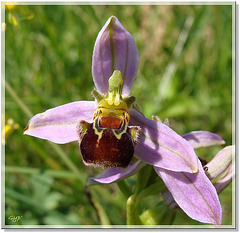Ophrys 1