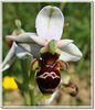 Ophrys 3