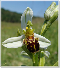 Ophrys 6