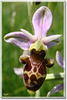 Ophrys 7
