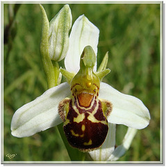 Ophrys 8