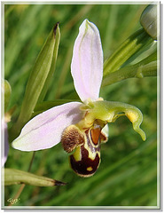 Ophrys 9