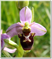 Ophrys 11