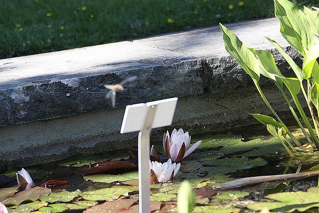 20100616 5827Aw [D~BI] Segellibelle: Vierfleck (Libellula quadrimaculata), Bielefeld