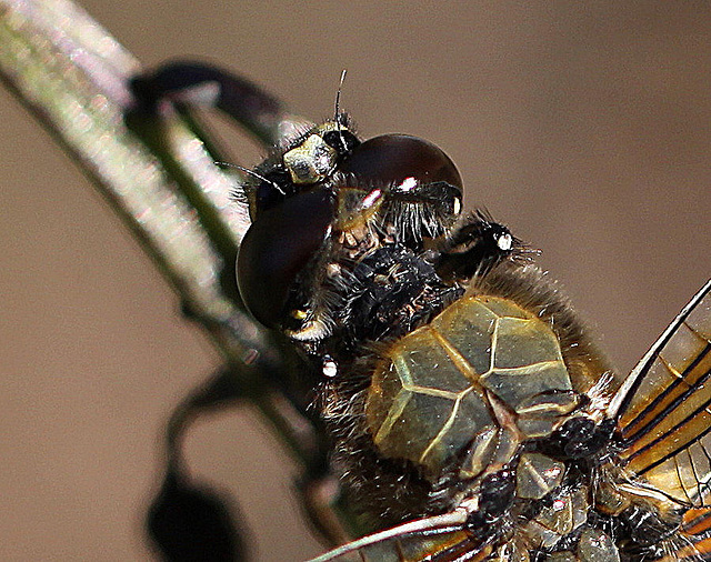 20100616 5885Mw [D~BI] Segellibelle: Vierfleck (Libellula quadrimaculata), Bielefeld