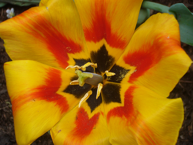 Tulpen-Kelch