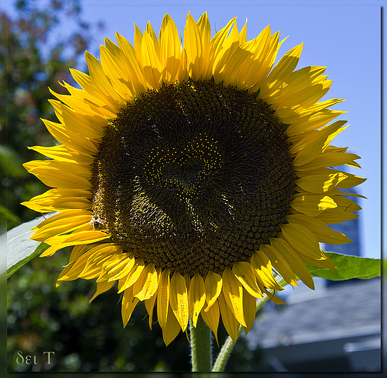 I Love | ♥ | a Sunflower