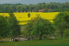 Blühendes Rapsfeld