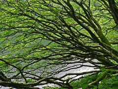 autour du lac du Schiessrothried...les arbres à la recherche de la lumière...