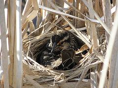 Carouge ( femelle ) dans son nid